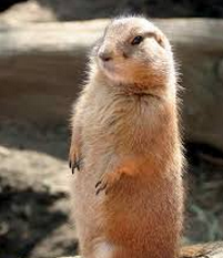 Fat prairie dog